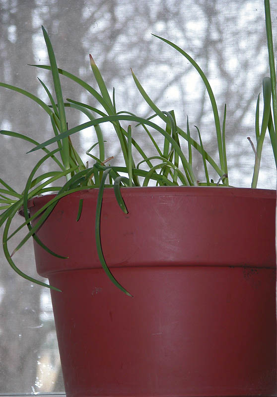 A pot of scallions growing in my window